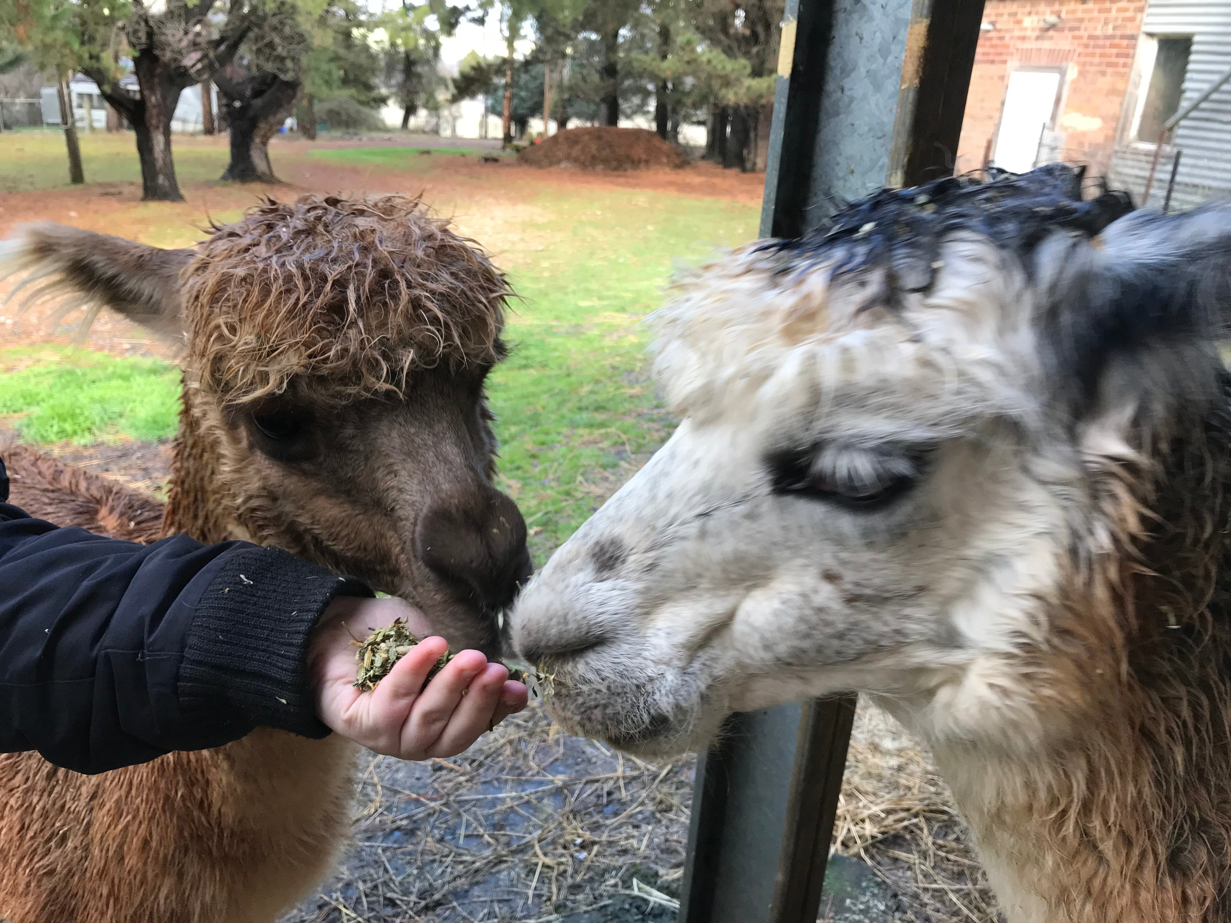 Alpaca Farm Experience at Crookwell - Surfers Paradise Gold Coast